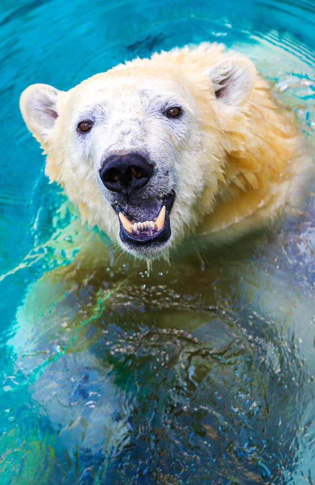 Seaworld polar bear Mishka is eagerly awaiting the return of visitors. Picture: NIGEL HALLETT