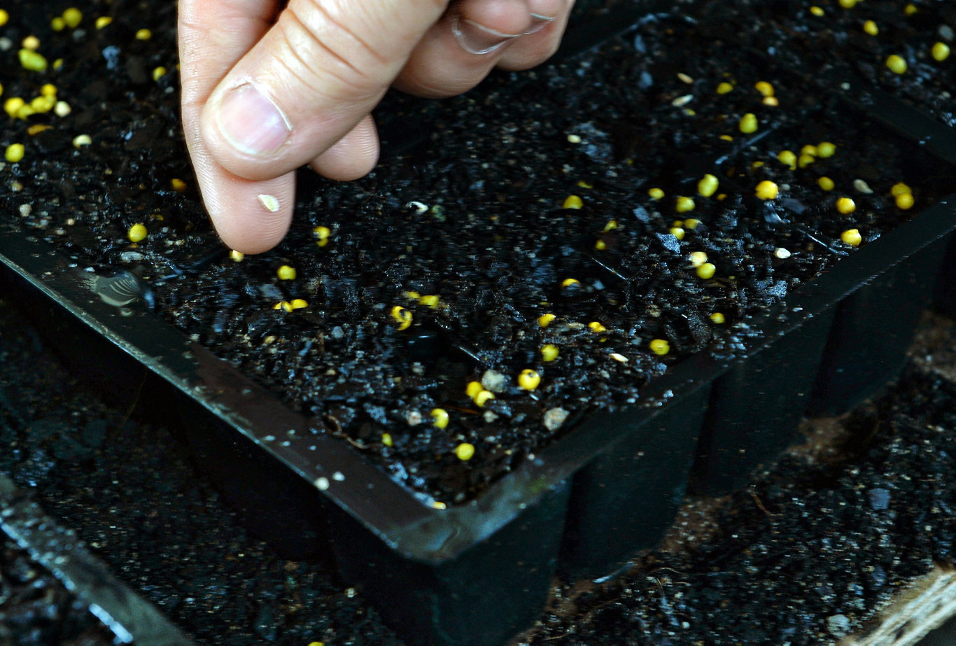 How to plant your seeds. Step 4: Place one seed in each pot, being careful not to put it directly on a thing of fertiliser. Cover with a small amount of soil, and move to a well-lit area.