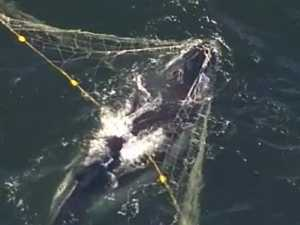 Change needed to keep whales out of shark nets