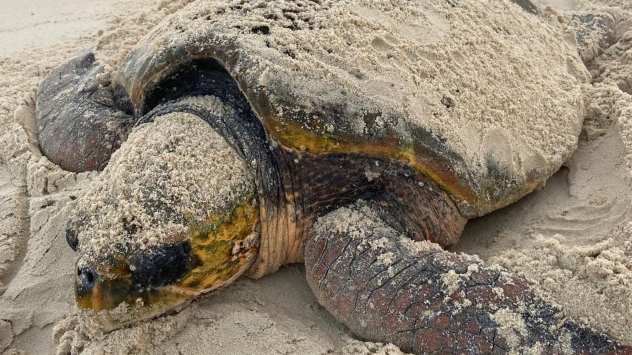 A nesting turtle Photo: NSW Turtlewatch