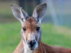 REVEALED: Shock plan to ditch kangaroo from Aussie 'brand'