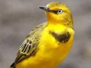 Region's only endemic bird under threat