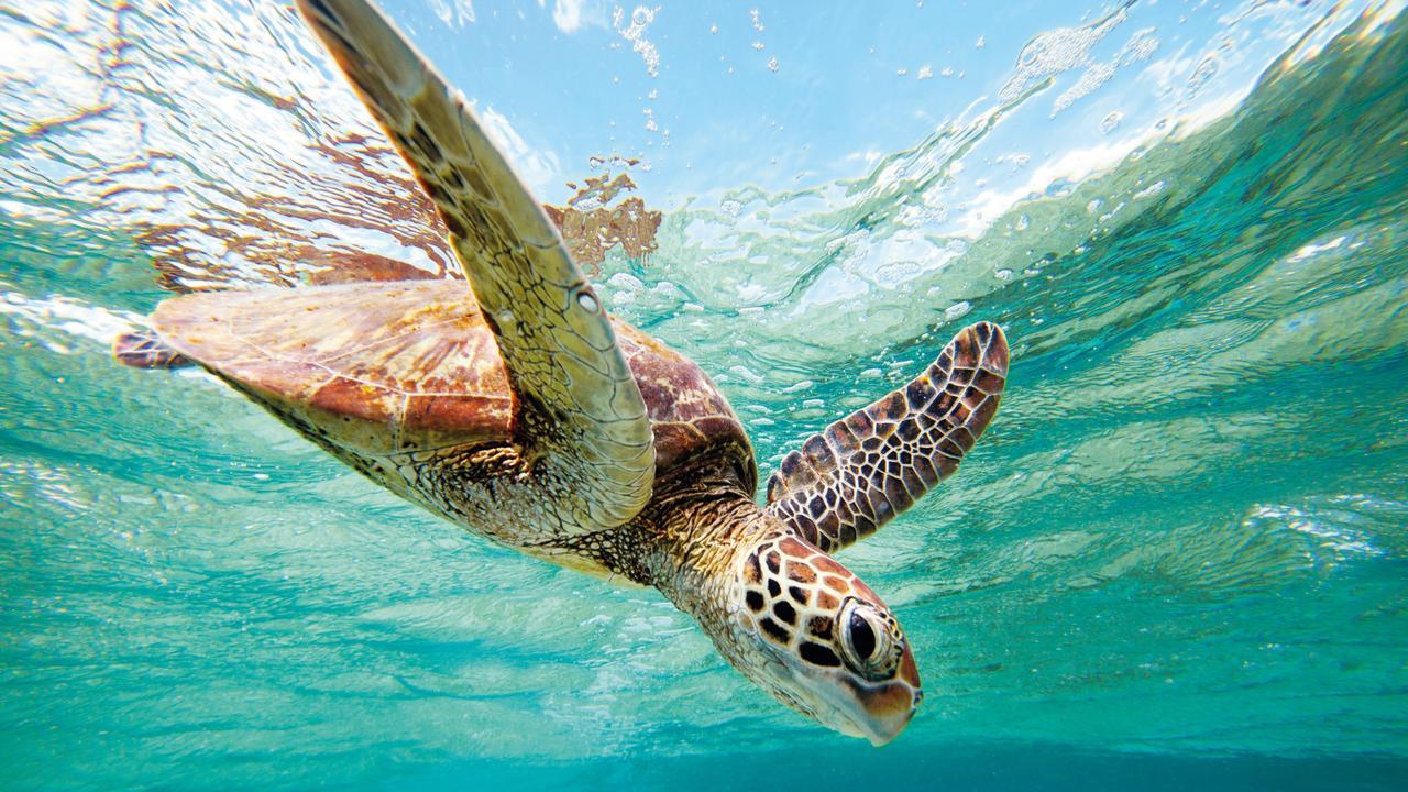 Vacances dans le Queensland - Essayez de regarder les tortues au large de Lady Elliot Island pendant ces vacances scolaires. Image: Eddie Safarik