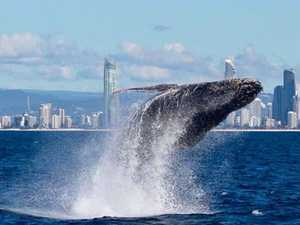 Coast 'ultimate playground' for whales