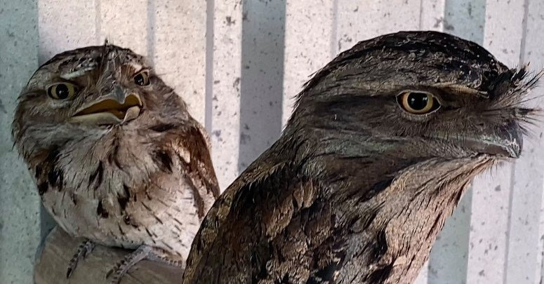 Squeak the tawny frogmouth is to be handed over for euthanasia unless the premier intervenes.