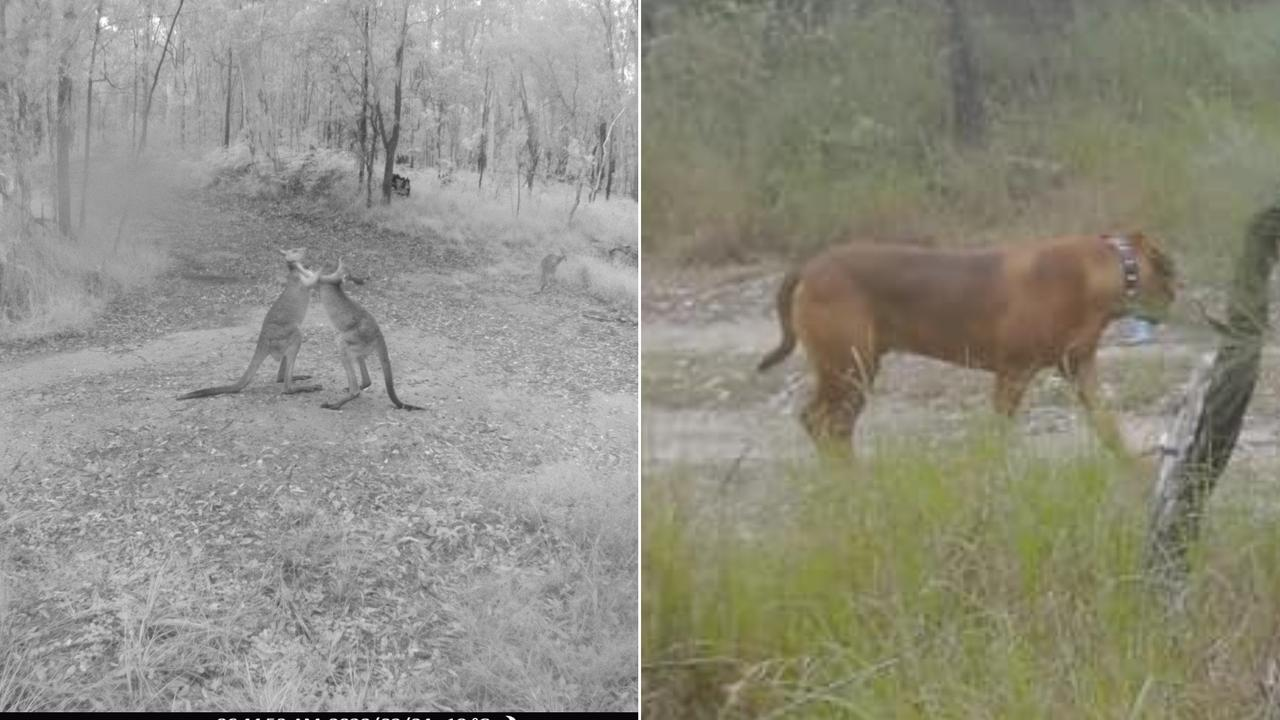ROCKY CREEK: Management of Rocky Creek Scout Camp at Landsborough are seeking public assistance after wildlife monitoring cameras that caught rogue dogs harassing kangaroos, and people trespassing, were stolen. Photos: Contributed
