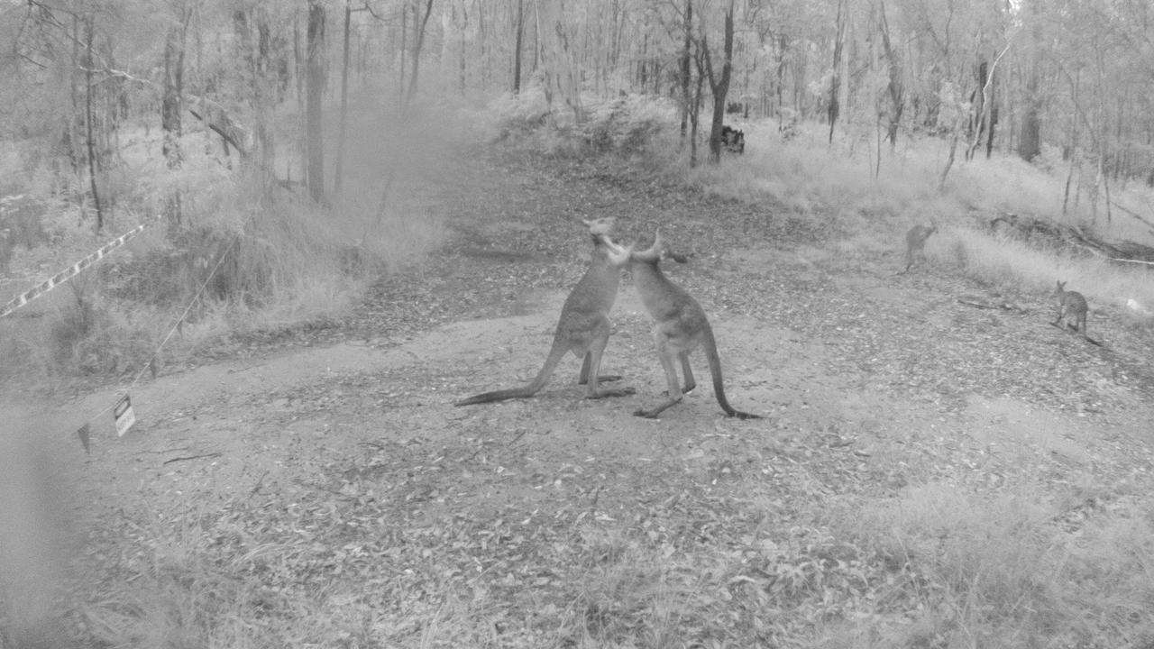 KANGAROOS: Management of Rocky Creek Scout Camp at Landsborough are seeking public assistance after wildlife monitoring cameras that caught rogue dogs harassing kangaroos, and people trespassing, were stolen.