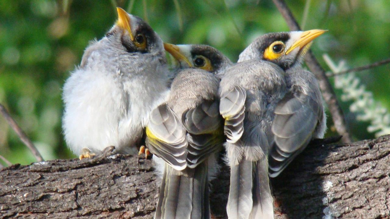 """THEY'VE TAKEN OVER"": The Gladfield man said he was felt the air rifle was the best option to defend his property against a flock of mynah birds. Picture: file"