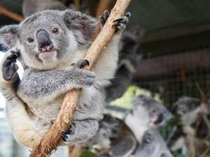 Action needed now to save koalas from extinction by 2050