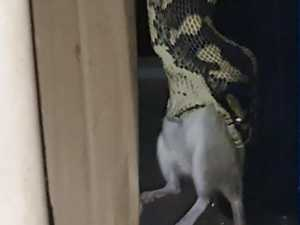 Dog walker finds snake going for a slithery street stroll