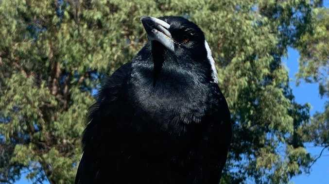 Call of the wild as family's beloved magpie disappears