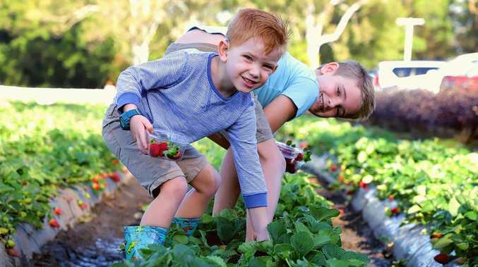 WATCH: School holiday fun as strawberry season kicks off