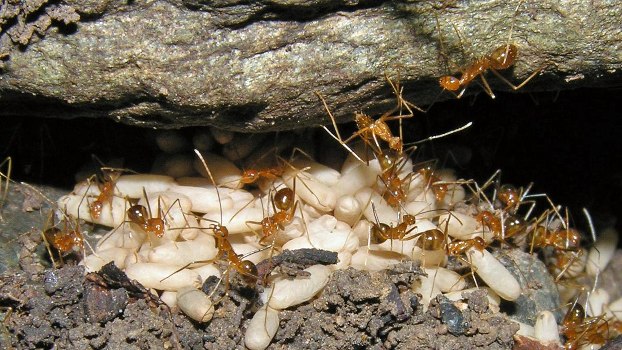 The yellow crazy ant has now spread to Funnel Bay.