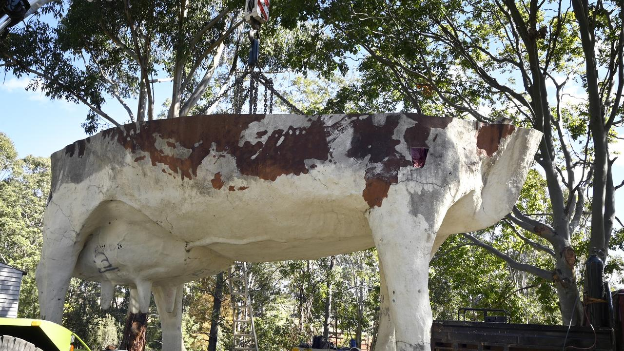 Highfields Pioneer Park start the massive job of putting the 8-metre-high Ayrshire cow from Yandina in place. The bottom half of the cows now resting on foundations with the top half expected to be installed in the coming week.