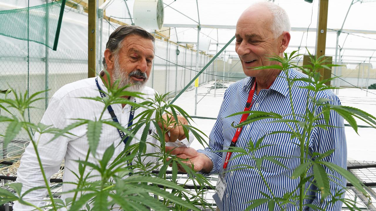 John Hall and Ken Charteris with medicinal cannabis plants.