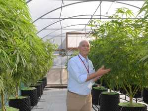 What has become of Bundy's medicinal cannabis crops
