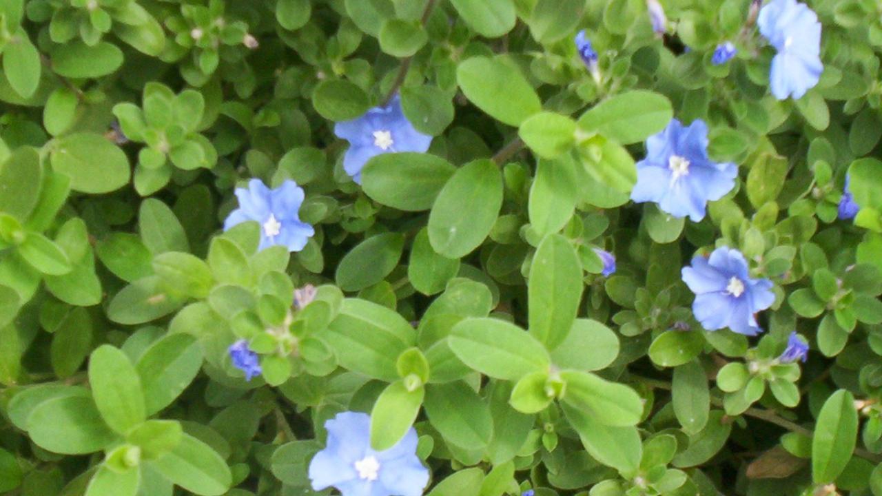 Evolvulus pilosus blue.