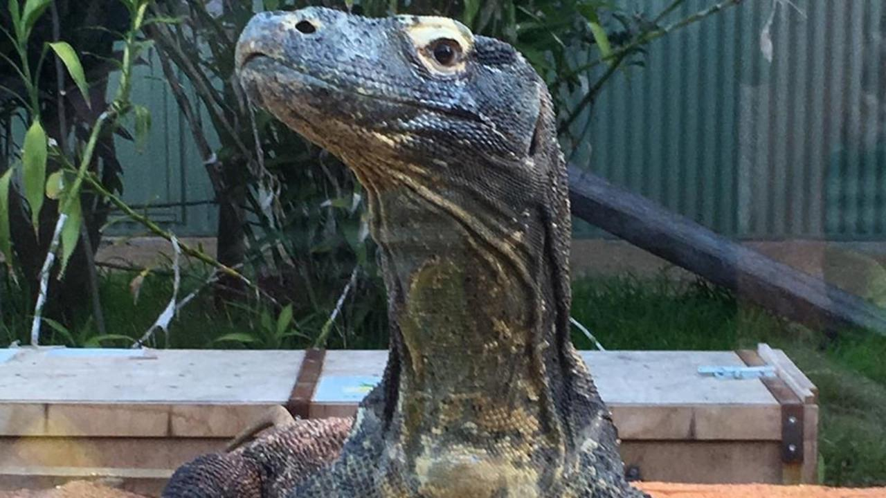HE'S HERE: Komodo dragon, Naga, has arrived at the Snakes Down Under Reptile Park and Zoo.