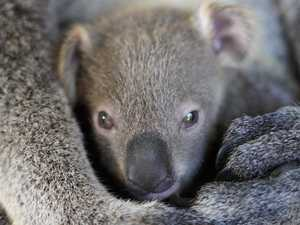 Jobs hope emerges for koala park proposal