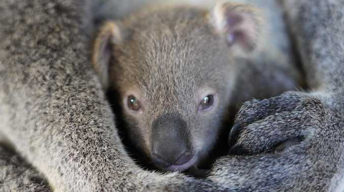 Another significant step forward for koala park proposal