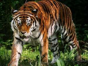 Tiger kills zookeeper in front of crowd