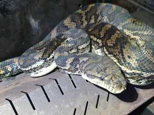 Snake sausage anyone? Python spotted in odd hidey hole