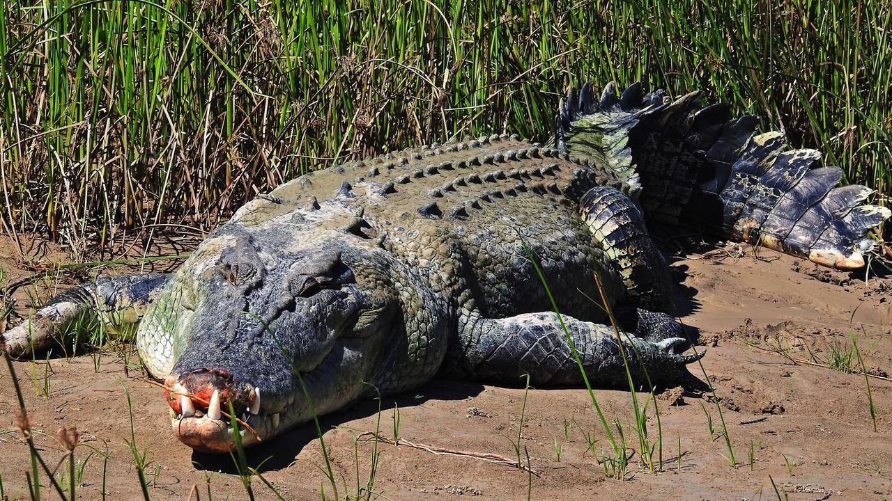 The 4m Daly Devil croc. Picture: Alex Julius