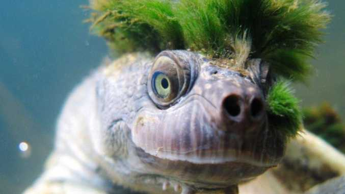 'Punk' Mary River turtle benefits from $20k grant