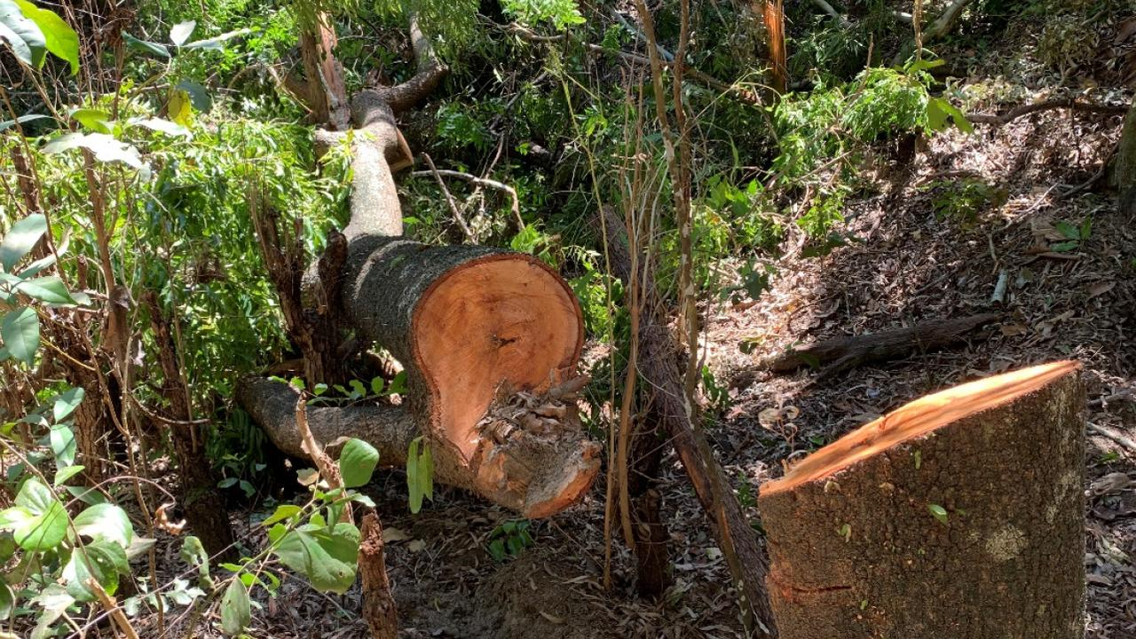 One of nine large trees that have been cut down at Shoal Point. Photo: Mackay Regional Council