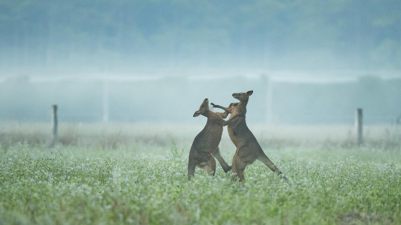 Kangaroos shadow box at first light on a foggy morning at North Arm on the Sunshine Coast. Photo: Lachie Millard