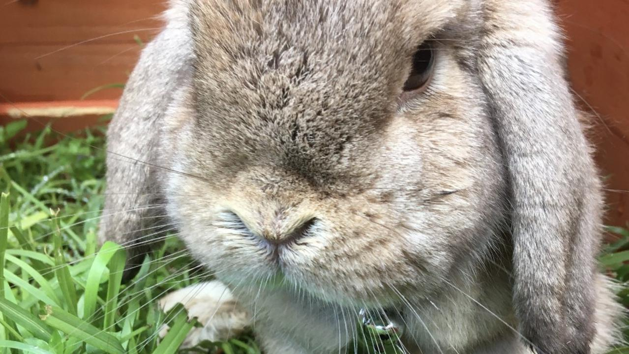 A woman thought her beloved pet rabbit was dead after it had been missing for 22 days. Then it turned up alive.