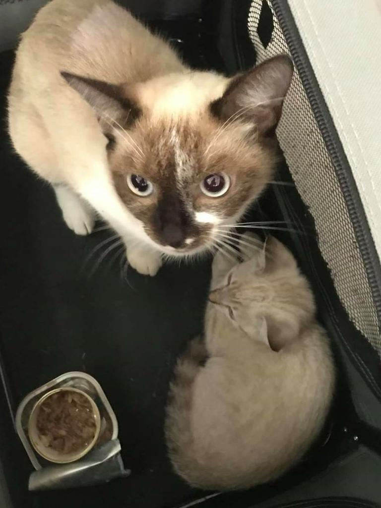 North Mackay resident Liz Spain adopted two shorthair ragdoll cross cats, a mother and her kitten, after they were abandoned on Blacks Beach in March.