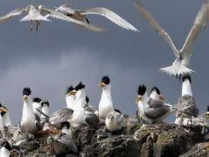 The secret life of the crested tern