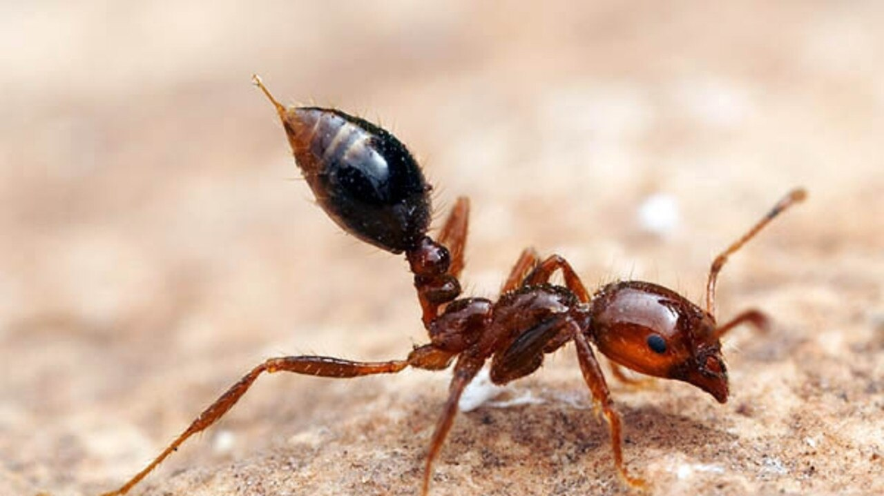 Questions continue to grow over the effectiveness of the fire ant eradication scheme in Queensland.