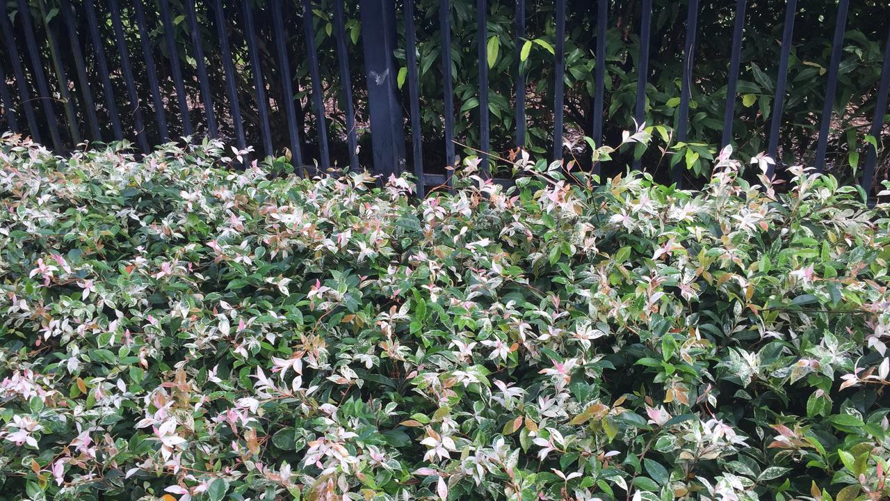 Trachelospermum jasminoides var tricolour