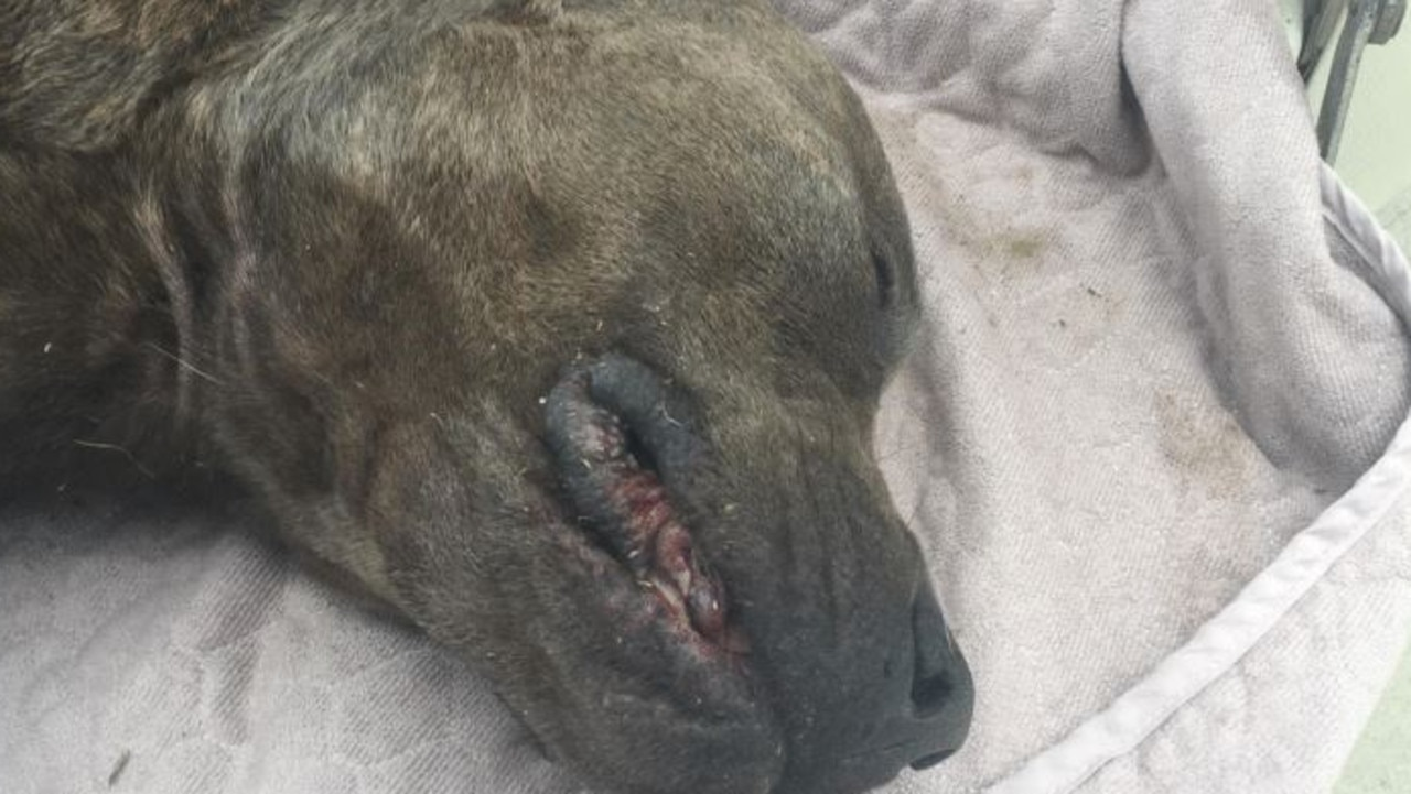 American Staffordshire Bull Terrier Bronx, 4, which died of heatstroke after being chained in the sun with no water. Picture: Supplied