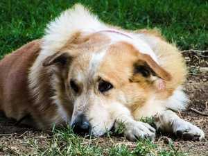 WARNING: Deadly dog virus active in South Burnett