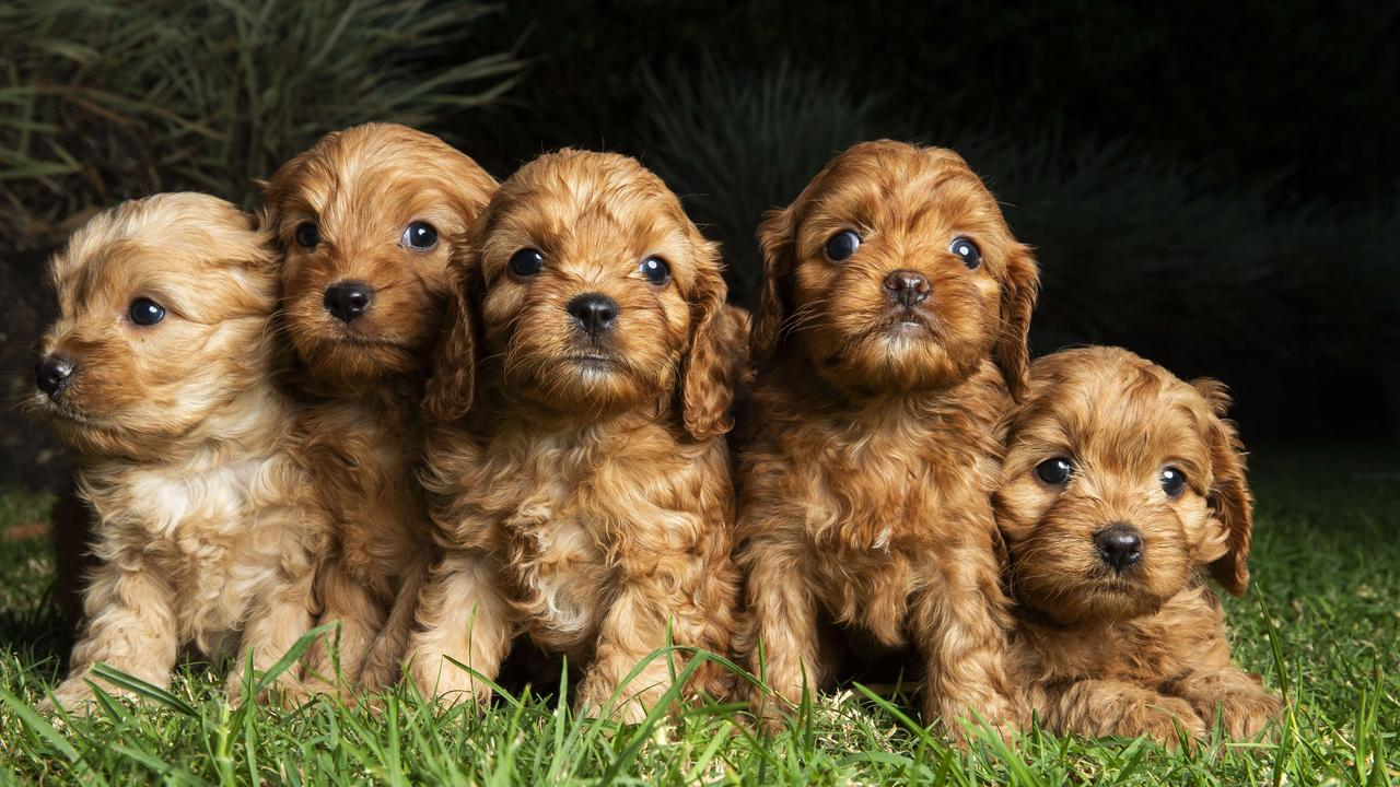 7 week old Cavoodle Puppies at Diamond Valley Kennels on the Sunshine Coast. Photo: Lachie Millard