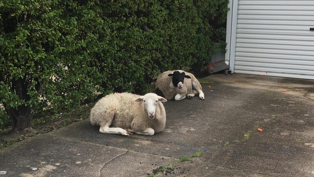 A beach-goer got quite the surprise this morning when she found two sheep lazing on her driveway. Now the search is on to find out who the animals belong to.