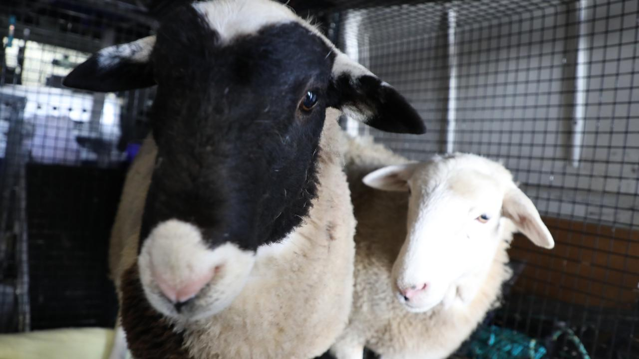 The two sheep being taken to the RSPCA shelter. Picture: RSPCA
