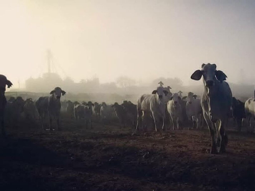 Thank you to reader Carissa Wrigley for sending in this photo of a herd of curious Brahman cows in the morning fog.