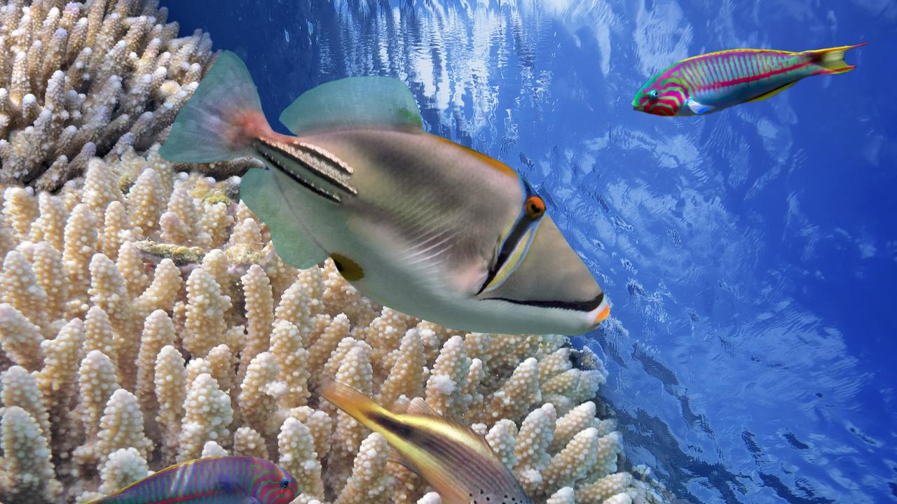 The Picasso triggerfish in the wild. Picture: iStock