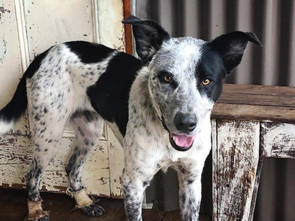 Tex is a blue cattle dog born in November, 2018.