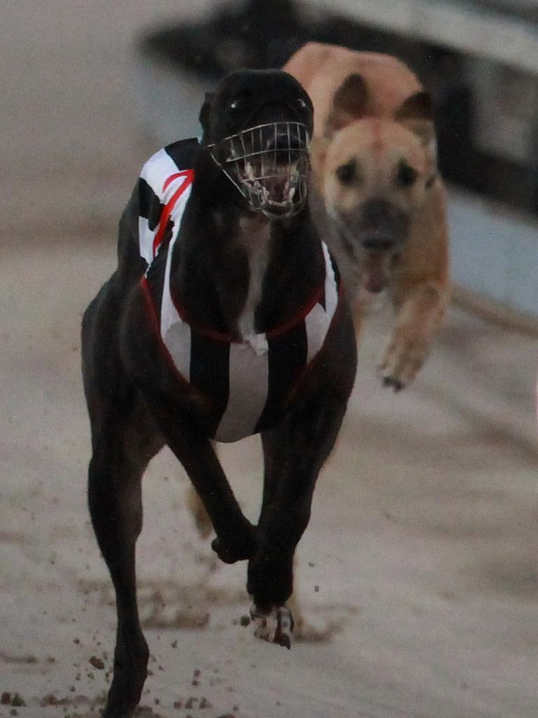 Greyhound racing at Ipswich.
