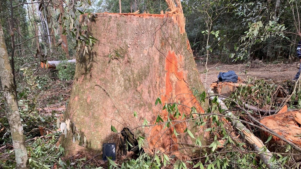 One of the two protected giant trees have been felled in Wild Cattle Creek State Forest.