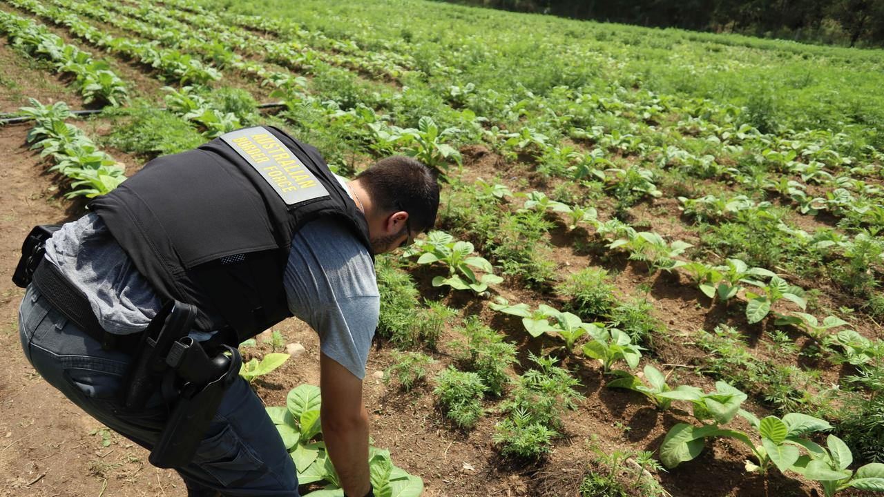 The Illicit Tobacco Taskforce (ITTF) seizes and destroys acres of illegal tobacco crops and seedlings. Source: Australian Border Force