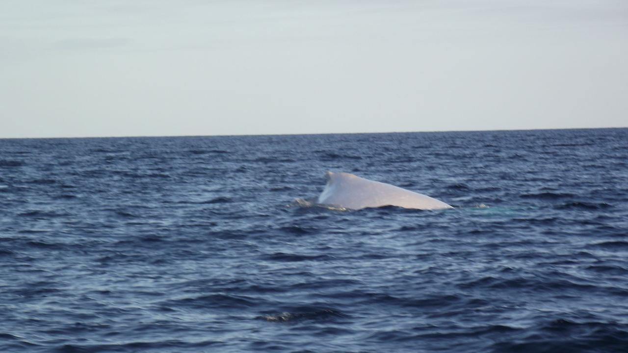 Sharks aren't the only big inhabitants of Otter Reef. Migaloo the white humpback whale was photographed swimming there in 2013.