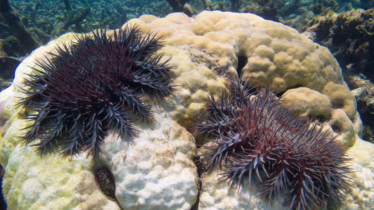 Crown of Thorns Starfish at the Great Barrier Reef.