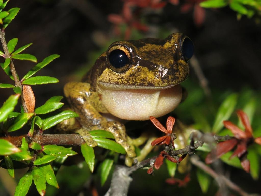 Littlejohn's Tree Frog (Litoria littlejohni)