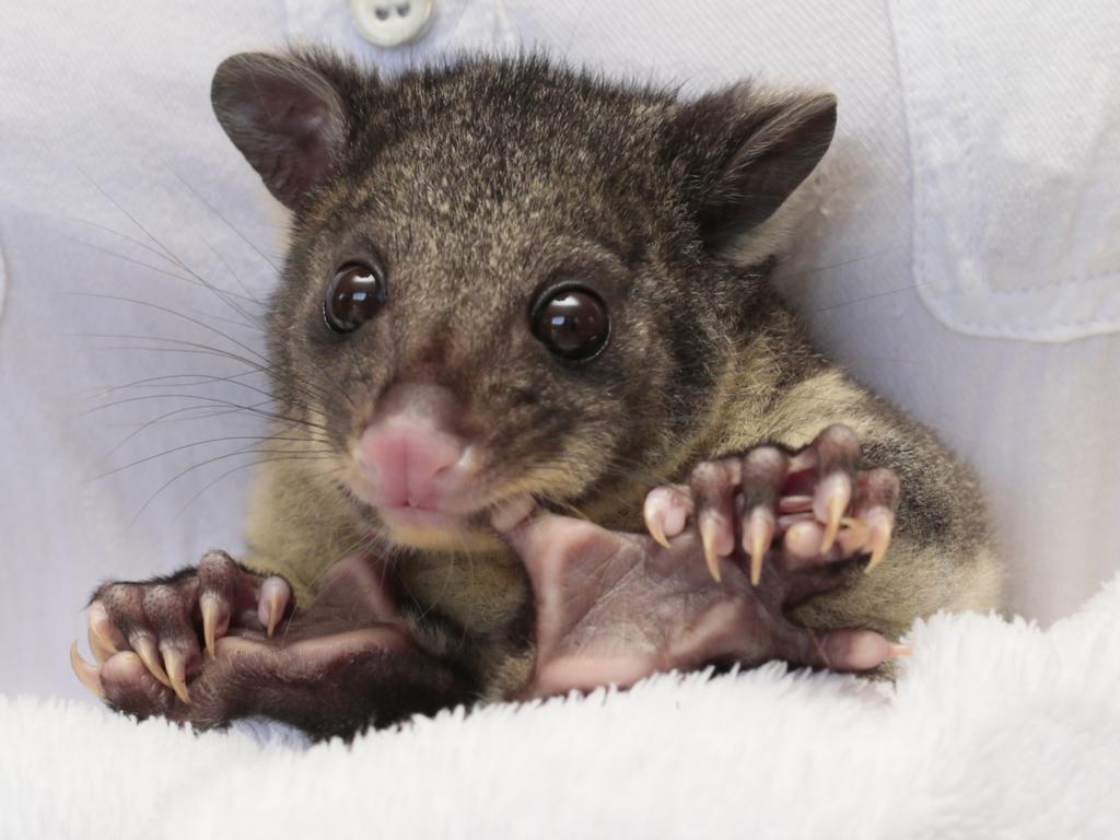 Short Eared Brushtail Possum. Picture: Lachie Millard